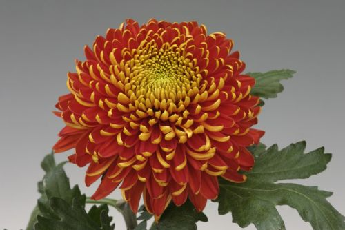 Chrysanthemum Tom Pearce